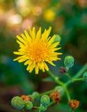 Fotografia żółty dandelion na naturalnym tle Obraz Stock