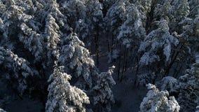 Fotografia aerea della foresta conifera di Natale della neve di inverno video d archivio