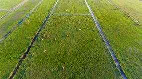 Fotografia aerea delle mucche in un campo Immagini Stock Libere da Diritti