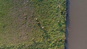 Fotografia aerea delle mucche in un campo Fotografia Stock Libera da Diritti