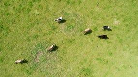 Fotografia aerea delle mucche in un campo Fotografia Stock