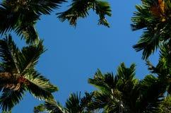 Fotografia areki catechu zieleni i drzewa liście zdjęcie stock