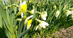 Fotografia białych kwiatów narcyz z kolorów żółtych pączkami i zieleń liśćmi zdjęcie royalty free