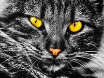 Fotografia in bianco e nero molto bella con un gatto affascinante! immagine stock libera da diritti