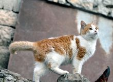 Fotografia bonita bonito do estoque do gato doméstico imagens de stock royalty free