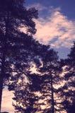 Fotografia bonita do específico da temporada de verão Grandes árvores e ramos que estão altos com luzes e luz do sol/por do sol b Fotografia de Stock