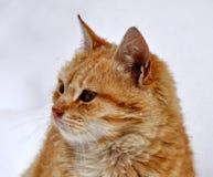 Fotografia bonita nova do estoque do gato doméstico foto de stock royalty free
