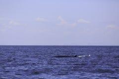 Fotografia Bryde ` s wieloryba lub Eden ` s wieloryb w Tajlandzkiej zatoce, Phetchaburi, Tajlandia Obrazy Royalty Free