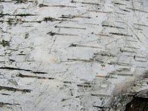 Fotografia brzozy barkentyny tekstura Zdjęcie Royalty Free