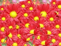 Fotografia a colori dei fiori di autunno Fotografia Stock Libera da Diritti