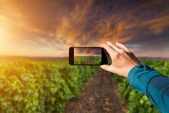 Fotografia com smartphone à disposição conceito do curso Por do sol no vinhedo Fotos de Stock