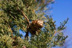 Fotografia conservada em estoque macro do ramo do arizonica do Cupressus Agulhas das coníferas Abeto vermelho, conífero Imagens de Stock Royalty Free