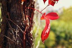 Fotografia czerwony jesień liść na starym drzewie Obrazy Royalty Free