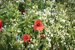 Fotografia da flor da papoila fotografia de stock