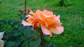 Fotografia da licença da natureza da flor Foto de Stock Royalty Free