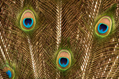 Fotografia da pena de cauda do pavão no ouro imagens de stock