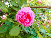Fotografia de Rosa Fotografia de Stock Royalty Free