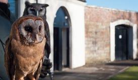 Fotografia de uma coruja de Brown Fotos de Stock Royalty Free
