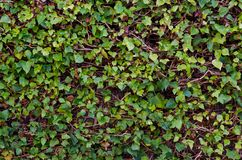 Fotografia de videiras de um fundo com folhas verdes imagem de stock