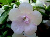 Fotografia del fiore bianco su fondo verde vago Fotografia Stock