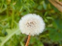 Fotografia del fiore della molla del dente di leone Immagine Stock