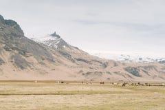 Fotografia del paesaggio dell'Islanda Cavalli selvaggii con le belle montagne nevose nei precedenti Fotografia Stock