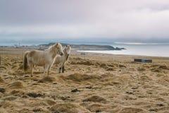 Fotografia del paesaggio di stordimento Islanda cavalli selvaggii al mare Dai fiordi ghiacciati alle montagne nevose per ghiaccia Fotografia Stock