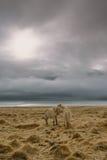 Fotografia del paesaggio di stordimento Islanda Due cavalli selvaggii al mare mentre il sole sta mettendo e le nuvole scure sono  Immagini Stock Libere da Diritti