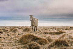 Fotografia del paesaggio di stordimento Islanda Immagine dei cavalli selvaggii Dai fiordi ghiacciati alle montagne nevose per ghi Fotografie Stock