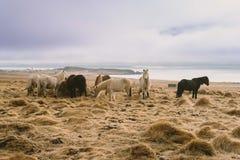 Fotografia del paesaggio di stordimento Islanda Immagine dei cavalli selvaggii di vulcano Dai fiordi ghiacciati alle montagne nev Immagini Stock