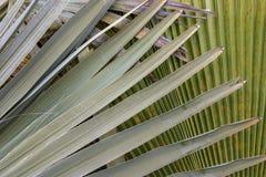 Fotografia del primo piano delle foglie messicane della palma immagine stock libera da diritti