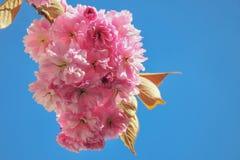 Fotografia del primo piano del fuoco selettivo Bello fiore di ciliegia sakura nel tempo di primavera sopra cielo blu Fotografie Stock Libere da Diritti