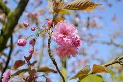 Fotografia del primo piano del fuoco selettivo Bello fiore di ciliegia sakura nel tempo di primavera sopra cielo blu Immagine Stock