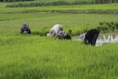 Fotografia dell'agricoltore del riso Fotografia Stock
