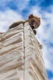 Fotografia della scimmia Immagine Stock