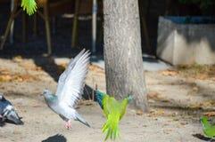 Fotografia di un atterraggio della colomba e di un parrocchetto che cominciano il volo Immagine Stock