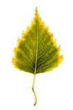 Fotografia do close-up de um isolador outonal minguante da folha da árvore de vidoeiro Foto de Stock Royalty Free