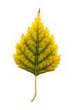 Fotografia do close-up de um isolador outonal minguante da folha da árvore de vidoeiro Fotos de Stock