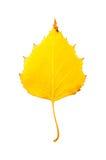 Fotografia do close-up de um isolador outonal minguante da folha da árvore de vidoeiro Foto de Stock