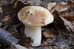 Fotografia do cogumelo muito delicioso (reticulatus do boleto) Fotografia de Stock Royalty Free