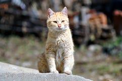 Fotografia do estoque do gato do gengibre fotografia de stock