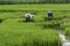 Fotografia do fazendeiro do arroz Imagem de Stock Royalty Free