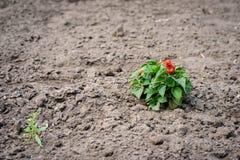 Fotografia do foco seletivo Solo tratado com uma planta só foto de stock royalty free