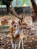 Fotografia do fundo dos animais dos cervos Imagens de Stock