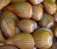 Fotografia do fundo dos caracóis de mar Imagem de Stock