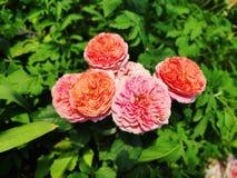 A fotografia do jekyll cor-de-rosa e vermelho de Gertrudes aumentou em um fundo borrado com folhas verdes fotos de stock