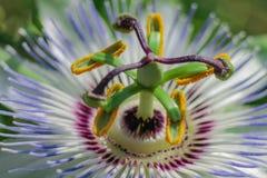 Fotografia do macro da flor da paixão fotos de stock royalty free