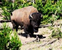 Fotografia Dziki bizon w Zielonym lesie Obrazy Royalty Free