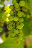 Fotografia gałąź zieleni winogradów winogrona Zdjęcie Stock