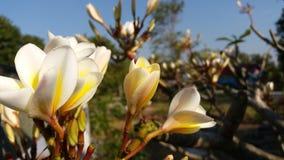 Fotografia gruntuje po kwiatonośnego Czerwonego Lao Zdjęcie Stock